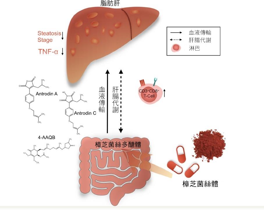 共用光田綜合醫院和弘光科大攜手人體臨床試驗發現服樟芝可降低脂肪肝及發炎程度 bb067
